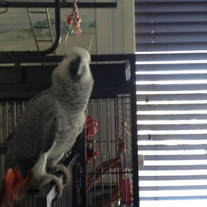 7 month old African Grey