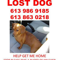 Lost dachshound Barrhaven