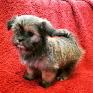 SHIH TZU-MALTESE PUPPIES READY FOR NEW HOME