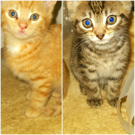 Bengal cross Kittens. 8 weeks old. Ready to leave