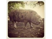 Oxford sandy & black boar
