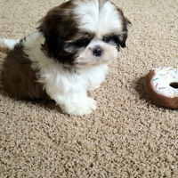 Micro Teacup Shih Tzu Puppies