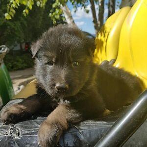 German Shephers puppies