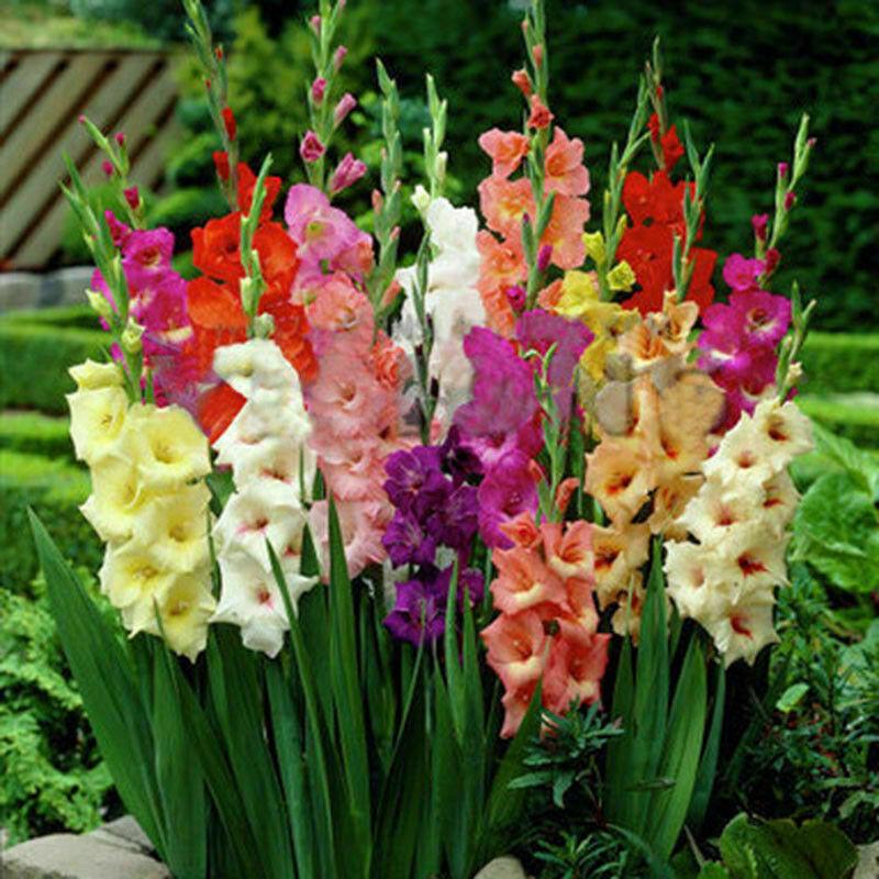 5stk Seltenen Samen Regenbogen Tulpenzwiebeln Samen Blumensamen Gele Schöne