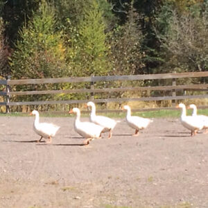 Geese for Sale - Free Range, 7 months old