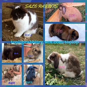 Holland Lops for sale by registered breeder