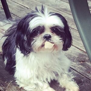 LOST DOG - Senior Shih Tzu - Molly