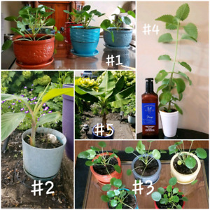 Indoor Plants for Sale!! Banana, thick leaf thyme, pilea