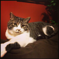 FREE Tabby male NO HEALTH ISSUES