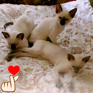 ❤SUPERBES CHATONS SIAMOIS❤BEAUTIFUL PURE SIAMESE KITTENS❤