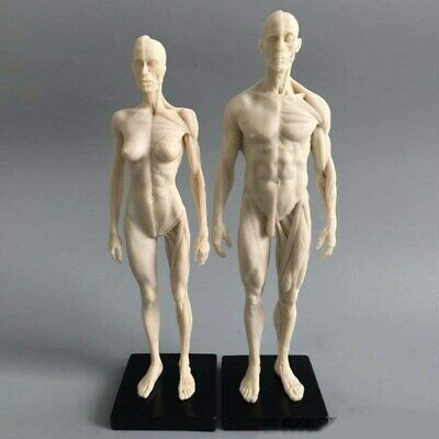 Human Anatomical Model Art Mannequin Musculoskeletal Structure Malefemale