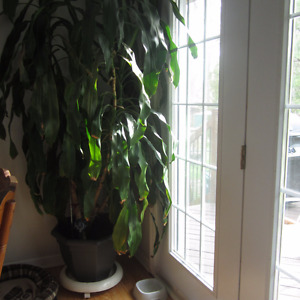 8 foot Corn Plant for sale