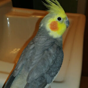 3 year old Male Cockatiel + Cage & Accessories