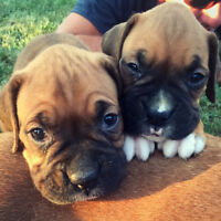 Boxer puppies! Ready to go soon!
