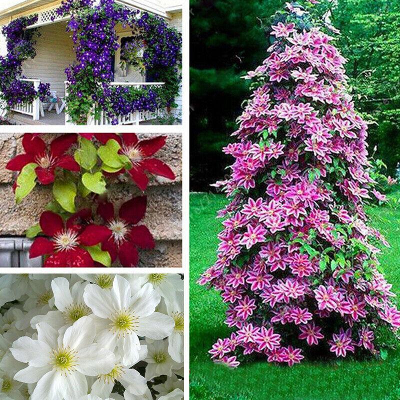 50 Mix Clematis Seeds Bloom Climbing Perennial Flowers Flower Seed Bloom