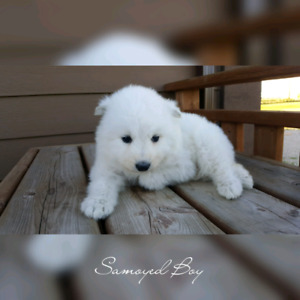 Samoyed Puppies looking for a loving Family