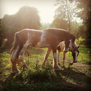 Magnificent Bay Roan Clydesdale Stallion