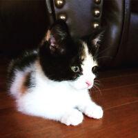 FREE Calico Kitten