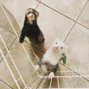 Ferrets for rehoming/rehab