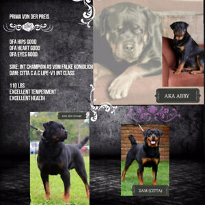 AKC CKC female rottweiler with breeding rights
