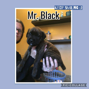 Mastiff puppies  ( Ready to go Oct 2)