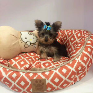 Mrico-Teacup Doll face yorkie puppy-only one boy left