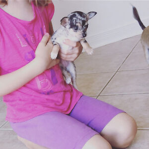 Chihuahua puppies rare blue merle 2 small females left