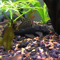 Selling the CHEAPEST Bristlenose Plecos in Wpg!! 3-4inches each!