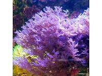 Ochtodes Macroalgae for the Marine Tank, Seahorse Aquarium & Reef Tank. Beautiful as Coral Frags