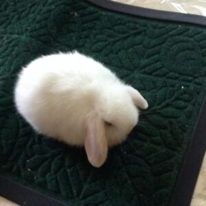 Two Holland Lop Rabbits Pure White