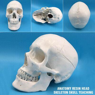 Life Size Human Anatomical Anatomy Resin Head Skeleton Skull Teaching Model New