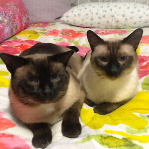 Two Male Siamese Cats to Rehome