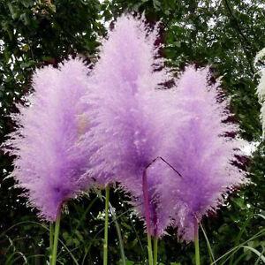 500 graine purple pampas semences de gramin es - Fleur de pampa ...