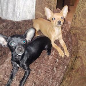 Chihuahua teacup  deux mâle de 6 mois. 300$ ferme