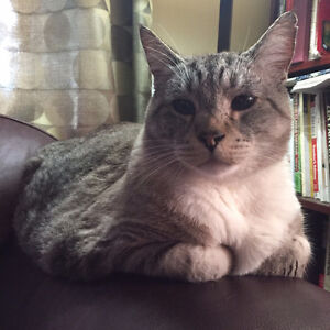 MISSING SILVER/GREY MALE TABBY WITH WHITE PAWS/CHEST