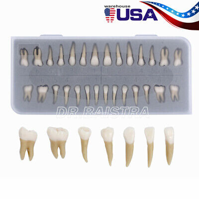 Usa Dental 11 Permanent Teeth Demonstration Teach Study Model 28pcs 7008
