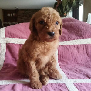 CKC Standard Poodle Puppies!!! Red/Apricot Males!!!
