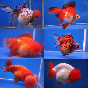 med/large sized goldfish