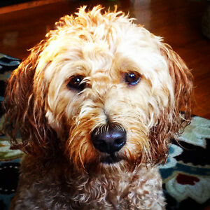 Lost Goldendoodle $1000 reward