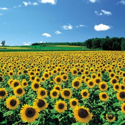 Chamberart 500 Pieces Jigsaw Puzzles - A Sunflower Field