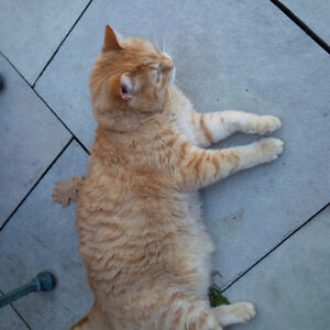 Keep my cat for 4 weeks. Will pay per week and supply food. Kitchener / Waterloo Kitchener Area image 1