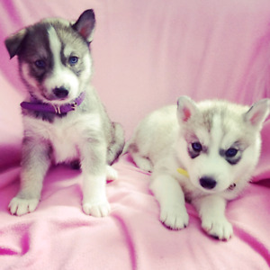 Purebred Blue Eyed Siberian Husky Puppies Ready to go March 1st!