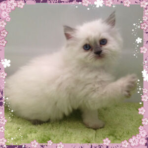 Adorable Pure Breed Himalayan Female Kitten To Be Reserved