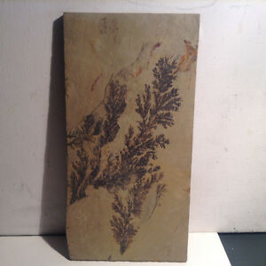 Petrified Ferns Plant Fossil