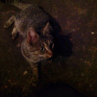 Tiger cat found on Covehead Road - 1192 Covehead Rd