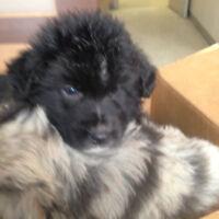 1 Australian shepherd puppy in Innisfil