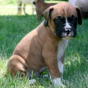 Purebred Boxer Puppies looking for quality family homes