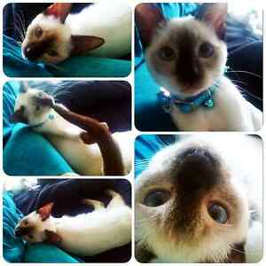 FOR SALE : CHOCOLATE SEAL POINT SIAMESE KITTEN
