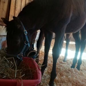 5 month old appy filly