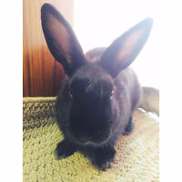 DWARF BUNNY FREE TO A GOOD HOME